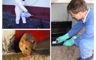Εξολόθρευση ποντικών και ποντικών από εξειδικευμένες υπηρεσίες