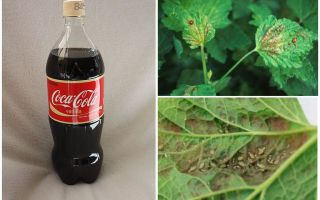 Coca-Cola από αφίδες
