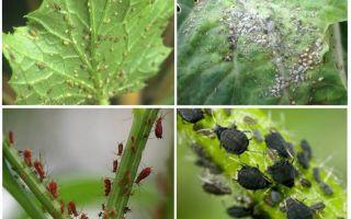 Πώς να χειριστείτε τους αφίδες στον κήπο και στον κήπο των λαϊκών θεραπειών