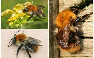 Περιγραφή και φωτογραφίες του bumblebee τομέα