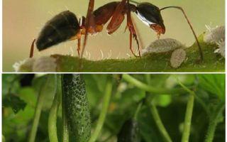 Πώς να ασχοληθεί με τα μυρμήγκια στον κήπο με τα αγγούρια