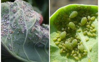 Πώς και τι να επεξεργαστούν οι αφίδες στο λάχανο