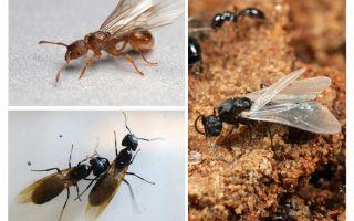 Φτερωτά μυρμήγκια