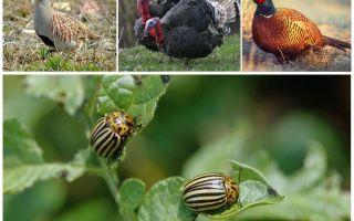 Ποια πτηνά και έντομα τρώνε Κολοράντο σκαθάρια