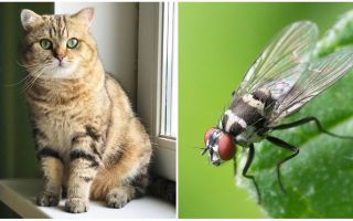 Τι πρέπει να κάνετε εάν μια γάτα ή μια γάτα έφαγε μια μύγα