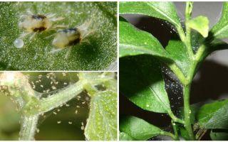 Πώς να απαλλαγείτε από ακάρεα αράχνη σε φυτά εσωτερικού χώρου
