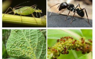Τύπος σχέσης μυρμηγκιών και αφιδών