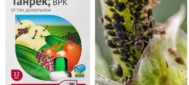 Tanrek θεραπεία για αφίδες και whitefly