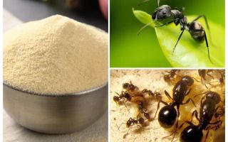 Μάνκα από τα μυρμήγκια στον κήπο