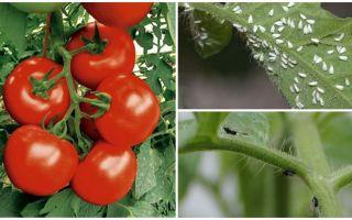 Πώς να επεξεργαστείτε τις ντομάτες από λευκές και μαύρες μύγες
