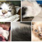 Φλοιούς σε γάτες και γατάκια