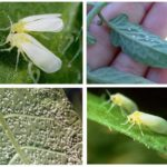 Λευκή μύγα