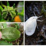 Λευκή μύγα σε λουλούδια