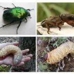 Larva του σκαθαριού Μαΐου και Medvedka