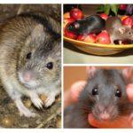 Τρόφιμα ποντικιών