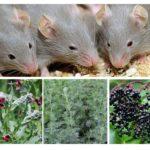 Βότανα από ποντίκια