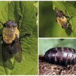 Γαστρική gadfly