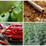 Λαϊκές θεραπείες για το σκαθάρι της πατάτας Κολοράντο
