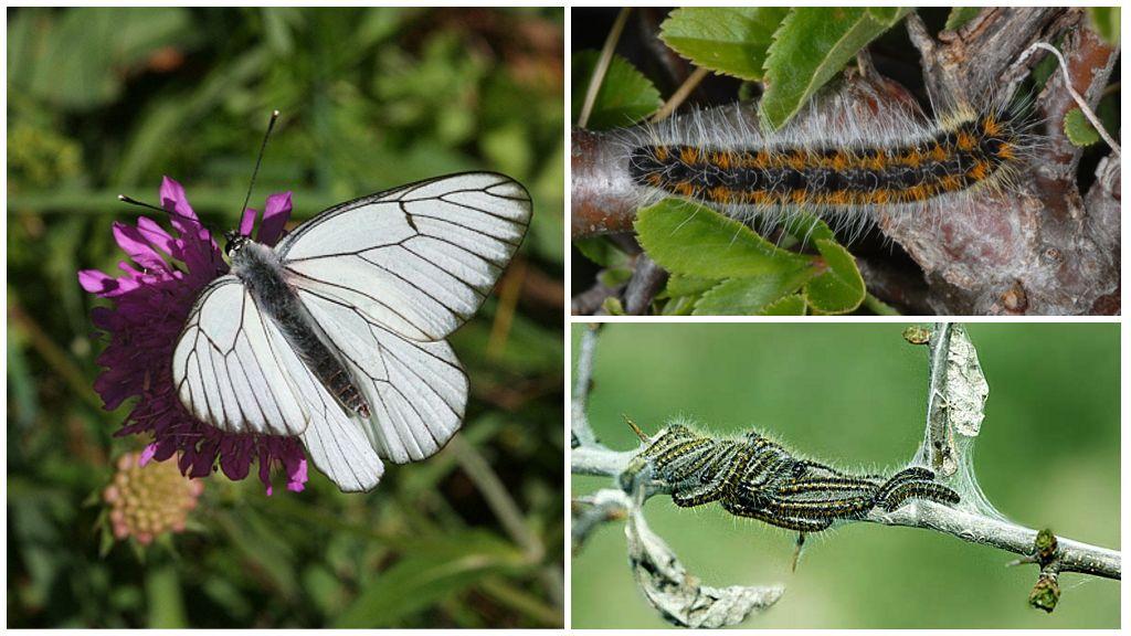 Caterpillar και πεταλούδα Hawthorn