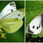 Λάχανο πεταλούδας