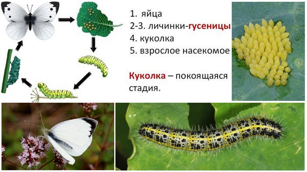 Κύκλος ανάπτυξης κύπελλων πεταλούδας