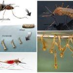 Αναπαραγωγή κουνουπιών