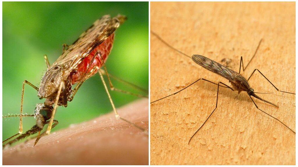Κουνούπι ελονοσίας