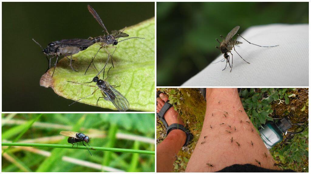 Μαύρες και κουνούπια