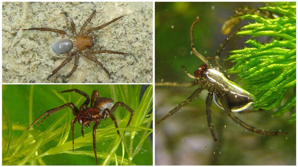 Ασημένια αράχνη