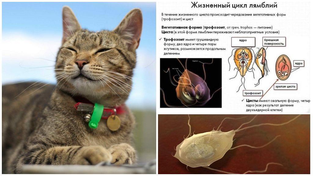 Giardia σε γάτες