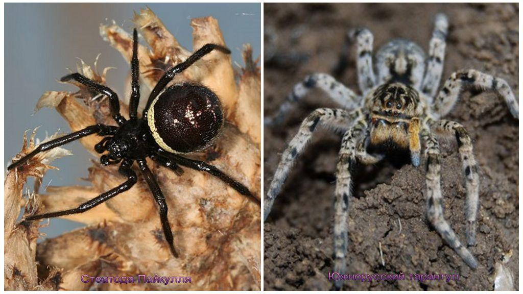 Αράχνες της Κριμαίας