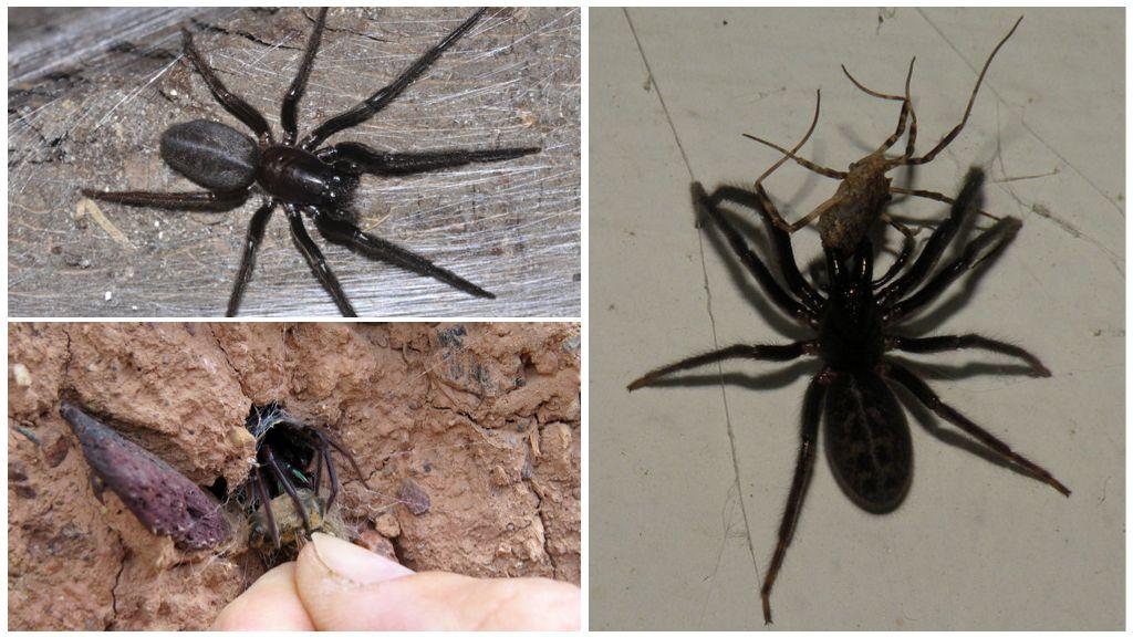 Αράχνη χωνιού